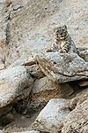 Wild female snow leopard (Panthera uncia)(sometimes Uncia uncia) resting on a rocky outcrop. Ladakh Range, Western Himalayas, Ladakh, India.