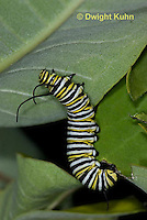MO02-542z  Monarch Caterpillar on Milkweed - Danaus plexipuss