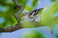 Black-and-white Warbler (Mniotilta varia)  rests near Lake Erie shoreline, spring migration, North America.