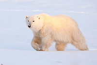 Polar Bear walking through the snow in early morning light