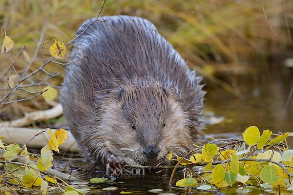 North American Beaver (Castor canadensis) eating aspen tree limb.  Northern Rockies,  Fall.