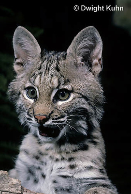 MA26-062z  Bobcat - young - Felis rufus
