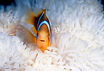 Moorea, French Polynesia; Orange-finned Anemonefish (Amphiprion chrysopterus) co-existing in a symbiotic relationship with a White Carpet Anemone (Stichodactyla gigantea) , Copyright © Matthew Meier, matthewmeierphoto.com All Rights Reserved