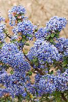 Ceanothus 'Victoria' aka C. impressus 'Victoria' aka C. thyrsiflorus 'Victoria' blue flowers closeup clusters