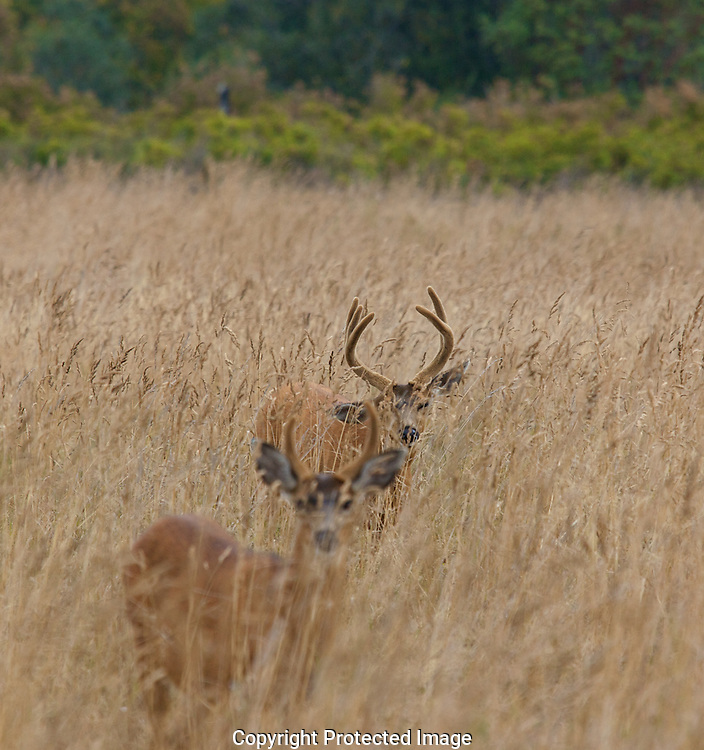 Black tailed stags peer out of the tall grass on Protection Island.