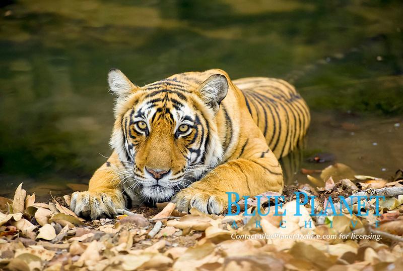 Indian Tiger (Panthera tigris tigris) adult, resting in shallow water, Ranthambore National Park, Rajasthan, India, Asia