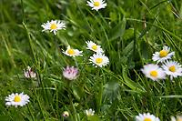 Gänseblümchen, Ausdauerndes Gänseblümchen, Mehrjähriges Gänseblümchen, Maßliebchen, Tausendschön, Bellis perennis, English Daisy, common daisy, lawn daisy, la Pâquerette, la pâquerette vivace