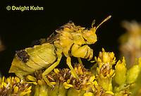 AM01-602z  Ambush Bug adult on goldenrod, Phymata americana