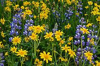 Wildflowers--Broadleaf Arnica or Mountain Arnica (Arnica latifolia) and Broadleaf Lupine (Lupinus latifolius).  Summer, Mount Rainier National Park, WA.
