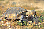 Desert Tortoise Eating