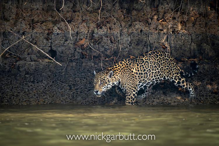 Wild male jaguar (Panthera onca palustris) entering the Piquiri River, a tributary of Cuiaba River, Northern Pantanal, Brazil. September