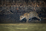 Wild male jaguar (Panthera onca palustris) entering the Piquiri River, a tributary of Cuiaba River, Northern Pantanal, Brazil. September