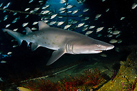 Sand Tiger Shark (Carcharias taurus) in the Outer Banks of North Carolina, USA, Atlantic Ocean In Australia and South Africa, this species is known as the Grey Nurse and the Ragged Tooth, respectively.