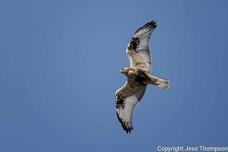 Rough-legged Hawk, Wyoming roadside