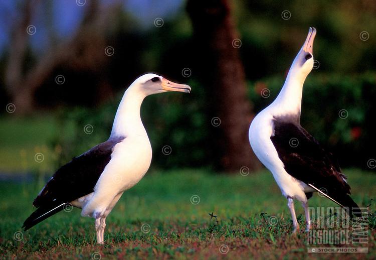 Laysan albatross (moli or Diomedia immutabilis) courtship at Kilauea Point National Wildlife Refuge, Kauai north shore; aka gooney birds.