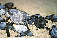 Kemp's ridley sea turtle hatchlings, Lepidochelys kempii, Rancho Nuevo, Mexico, Gulf of Mexico, Caribbean Sea, Atlantic Ocean (cr)