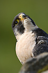 Peregrine Falcon (Falco peregrinus). Captive. Wings Over Mull Centre. Isle of Mull, Scotland.