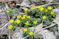 Kleiner Winterling, Winterling, Winterlinge, Eranthis hyemalis, Winter Aconite, hellébore d'hiver, éranthe d'hiver
