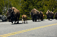 A herd of bison run along the Grand Loop Road in Yellowstone National Park, Wyoming on Wednesday, May 24, 2017. (Photo by James Brosher)