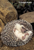 MA42-038z  African Pygmy Hedgehog - unrolling from protective ball - Atelerix albiventris