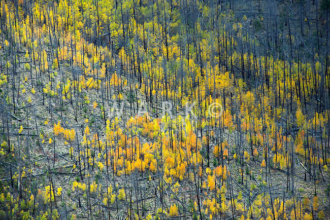 Hayden Fire 10 years later. Fall colors in the burn scar.  September 2012