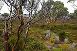 .Under the rain, eucalypt trunks (alpine yellow gum, eucalyptus subcrenulata) moisten into deeper greens, browns, greys and pinks....Ecorces mutlicolores d'eucalyptus, alpine yellow gum (eucalyptus subcrenulata).