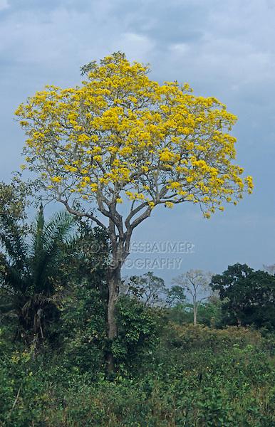 Gold Trumpet Tree (Tabebuia ochracea), in bloom, Pantanal, Brazil, South America