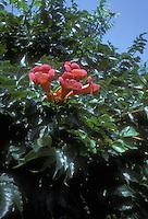 Trumpet vine, Trumpet creeper Campsis radicans in flower