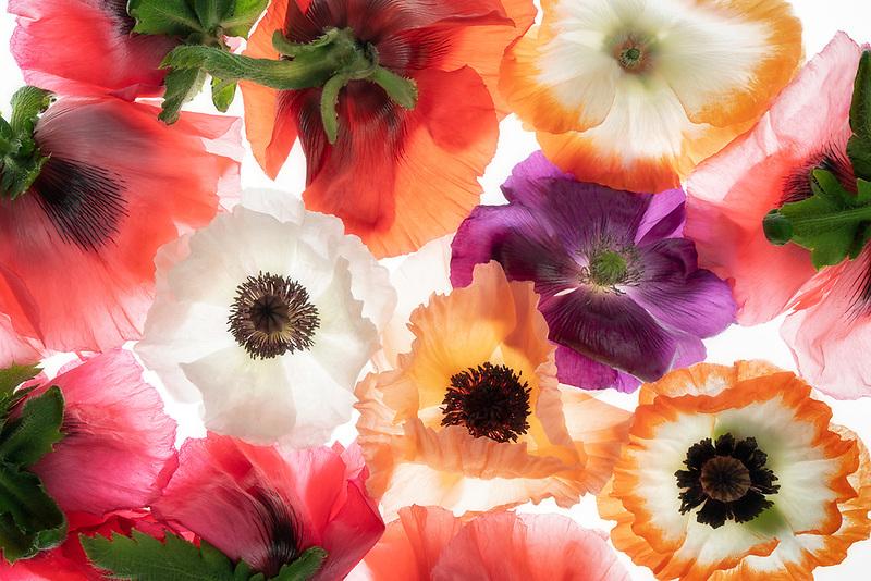 Bouquet of oriental poppy flowers