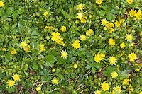 Frühlings-Fingerkraut, Frühlingsfingerkraut, Fingerkraut, Potentilla neumanniana, synonym: Potentilla tabernaemontani, Potentilla verna, Spring Cinquefoil, Spotted Cinquefoil