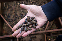 Italy. Apulia Region. Contrada Galante is a village, distant 15 km from the town of Ceglie Messapica, located in Apulia (Puglia) in Southern Italy. Small farmhouse. A farmer holds rotten olives in the palm of his right hand. The olive harvest in 2018 in Apulia was disastrous due to bad weather, heavy rains and temperature's drop just before harvest time. In Salient area, olives trees suffer also from attacks of Xylella fastidiosa, an aerobic, Gram-negative bacterium of the monophyletic genus Xylella, which causes the olive quick decline syndrome. 6.12.18  © 2018 Didier Ruef