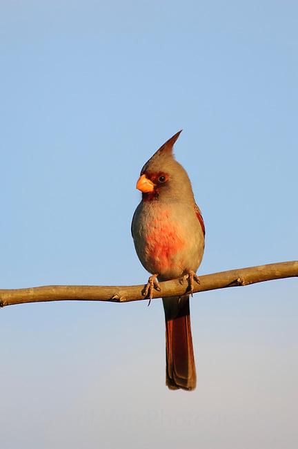 Adult male Pyrrhuloxia (Cardinalis sinuatus).  Starr County, Texas. March.