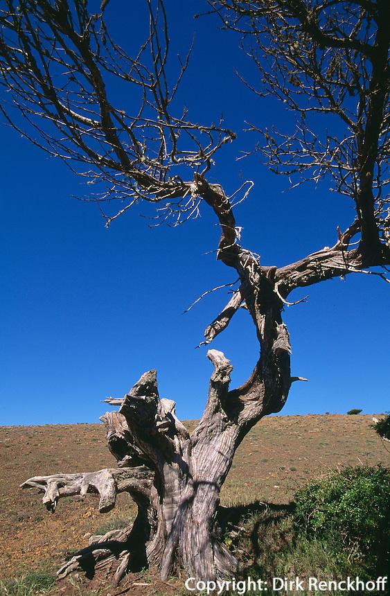 Spanien, Kanarische Inseln, El Hierro, alter Wacholderbaum bei El Sabinar