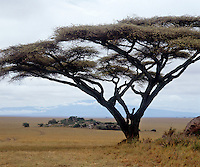 An acacia tree stands sentinel on the vast plains of the Serengeti