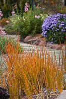 Libertia peregrinans, orange foliage perennial in California garden
