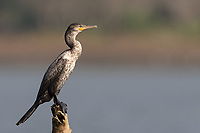 A cormorant photographed at the mouth of the Rio Tarcoles.