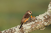 Vermillion Flycatcher (Pyrocephalus rubinus), female feeding young in nest, Laredo, Webb County, South Texas, USA