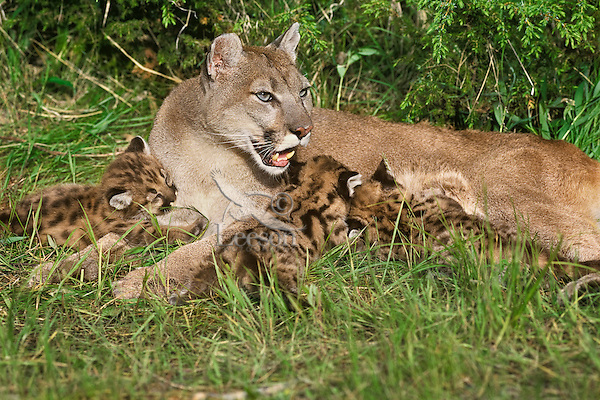 Mountain Lion or Cougar mom with young cubs, Western U.S.