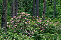 Western rhododendron and Douglas firs<br /> Umpqua National Forest<br /> Cascade Range<br /> Oregon