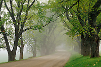 Maple lined gravel road in fog, Darling Hill Road, Lyndon, Caledonia County, V