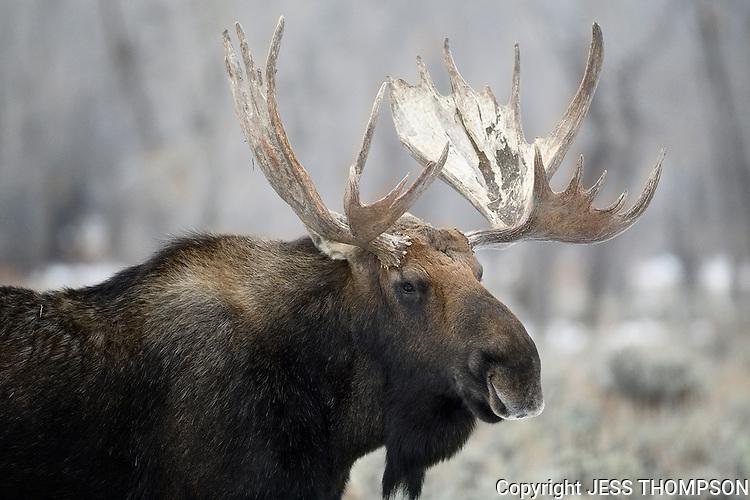 Moose Bull, Grand Teton National Park
