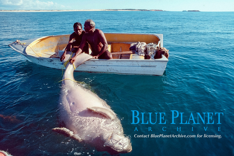 Australian aboriginals with dugong, Dugong dugon, captured legally under traditional hunting rights, Australia