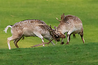Milnthorpe, Cumbria, UK<br /> <br /> 19th November 2020<br /> <br /> Fallow deer stags fighting in the evening sunshine during the rutting season at Milnthorpe, Cumbria. UK<br /> <br /> Credit: John Eveson/Alamy Live News