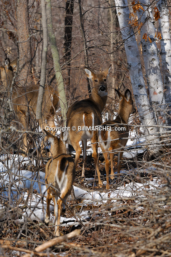 00275-192.02 White-tailed Deer (DIGITAL) group is trotting among slash in logging area during late fall or winter.  Feed, prey survive. V3A1