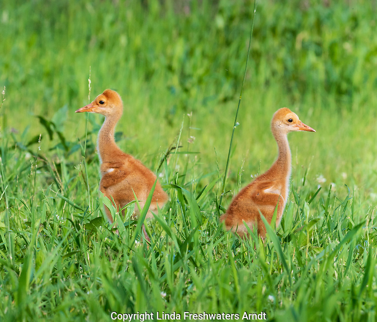 Sandhill crane colts in a northern Wisconsin meadow.
