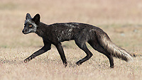 The skinny black vixen who was caring for the black kits spent some time in the neighboring meadow hunting for rabbits.