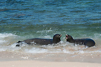 Hawaiian monk seals, Neomonachus schauinslandi, Critically Endangered endemic species, a 7-year-old male (RI11) on right scuffles with female (R318) on left, at beach on west end of Molokai, USA, Pacific Ocean