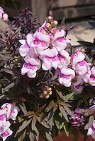 Antirrhinum Bronze Dragon with dark purple foliage leaves and pink and purple flowers