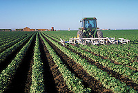 tractor working rows of cotton in field. Agribusiness. Bakersfield California.