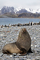 Antarctic Fur Seal bull (Arctocephalus gazelle) Salisbury Plane, South Georgia. November.